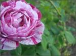 """""""Une rose d'automne est plus qu'une autre exquise"""""""