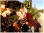 Dahlia recto verso au Jardin des Plantes