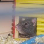 rat03